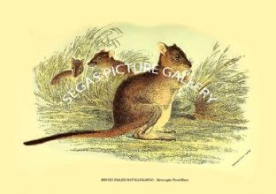 BRUSH-TAILED RAT-KANGAROO - Bettongia Penicillata
